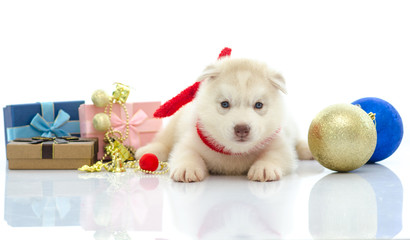 Cute siberian husky with present