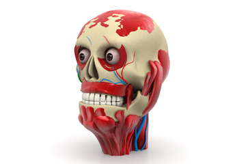 Human skull with muscles