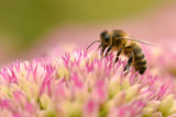 Honey bee feeding on sedum flower - 73405764