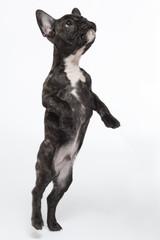 Neugieriger Bulldoggenwelpe