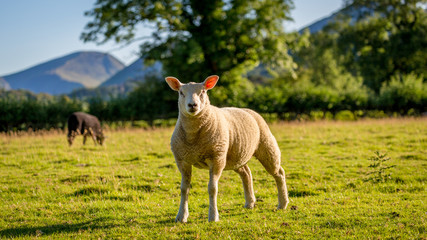 Herdwick sheep in The Lake District, England