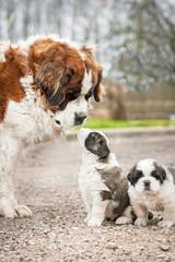 Saint bernard dog with puppies