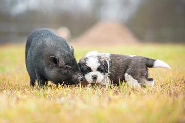 Saint bernard puppy with mini piggi walking outoors