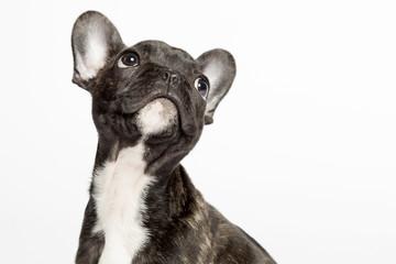 Bulldogge guckt nach oben