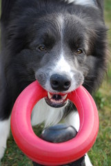 Border Collie Jerry