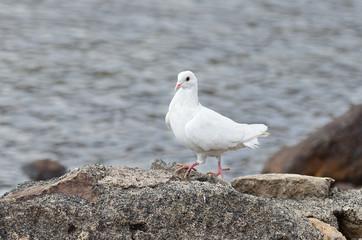 Белый голубь на камне на берегу озера
