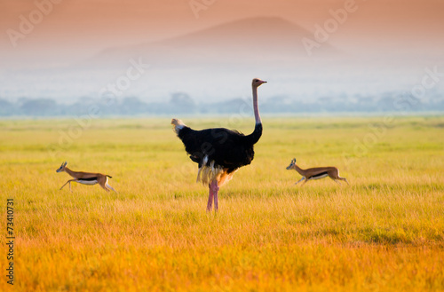 Plexiglas Struisvogel African ostrich