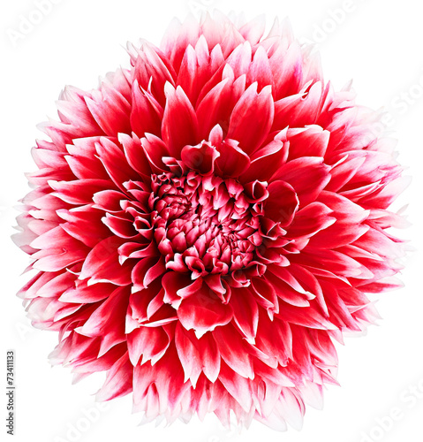 Fotobehang Dahlia Dahlia, red, white colored flower head. Background