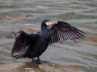 翼を広げるカワウ