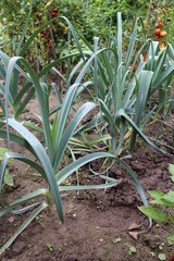 Green leeks in the garden