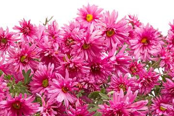 Pink chrysanthemums  on white