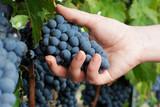 Harvesting ripe grapes in vineyard