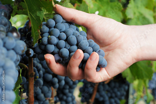 Harvesting ripe grapes in vineyard