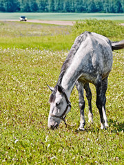 Horse gray grazing in meadow