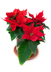 Christmas flower poinsettia (Euphorbia) Christmas star
