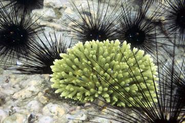 Black beautifull sea urchin