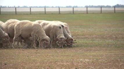 huge herd of sheep on the field 7