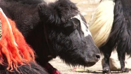 Tibetan yak is resting on the ground