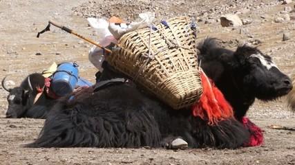 Tibetan yak is resting on the ground.