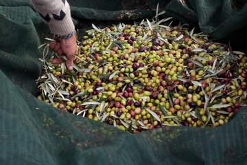 Scegliendo le olive