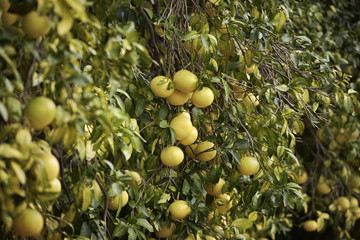 Italy, Sicily, countryside, grapefruits