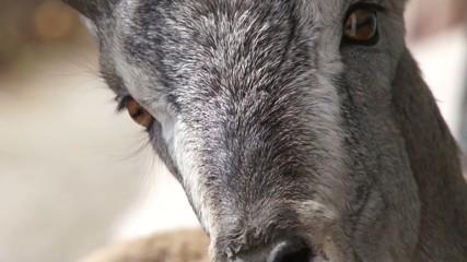 Cute tibetan goat close up.
