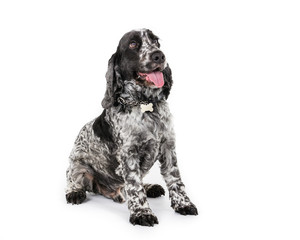 Picture of a black and white Cocker Spaniel