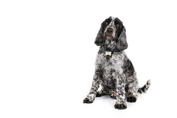 Picture of a Cocker Spaniel on a white background