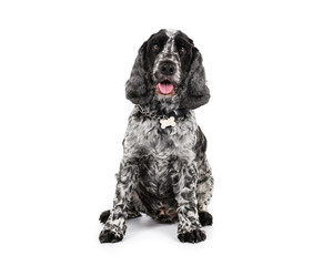 Picture of a Cocker Spaniel sat on a white background