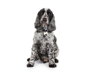 Picture of a Cocker Spaniel sitting on a white background