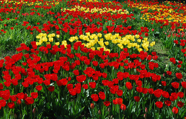 Beautiful red and yellow tulip flower field.