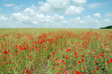 Beautiful landscape with field of red poppy flowers