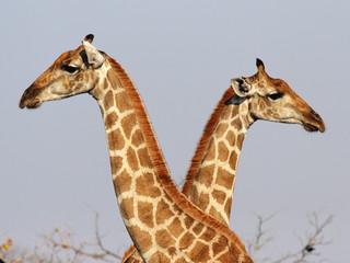 Portraitaufnahme zweier Giraffen im Etosha-Nationalpark, Namibia