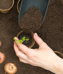 Planting tomatoes in Jiffy pots