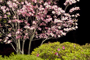 Dogwood and Spring Shrubbery Against Black Background