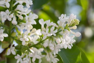 Blossoming Common lilac, Syringa vulgaris