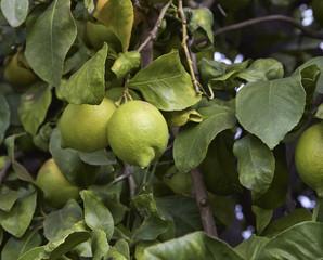 Italy, Sicily, countryside, sicilian lemons