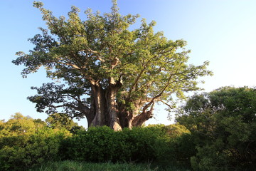 albero centenario parco nazionale del kruger sudafrica