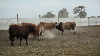 bulls on the farm 1