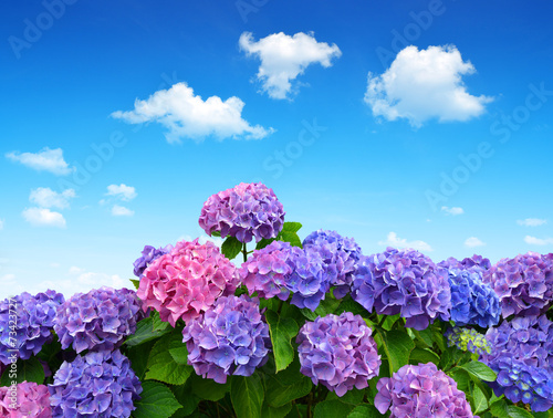 In de dag Hydrangea hydrangea flowers on blue sky
