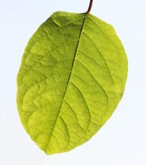 Grünes Blatt mit deutlich sichtbarer Struktur