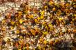 canvas print picture - Herbstliche Blätter Wilder Wein