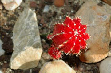 Cactus rouge 4