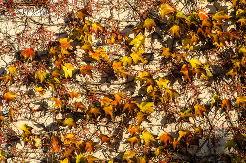 canvas print picture Herbstliche Blätter Wilder Wein