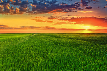 Picturesque sunset in the green wheat field