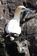 uccelli sula bassana mare del nord isole scozia