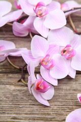 Pink orchid(Phalaenopsis )