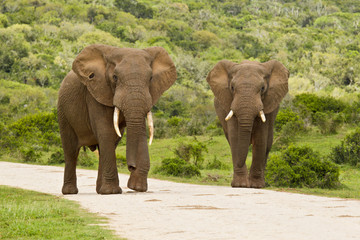 Two elephants on a gravel road