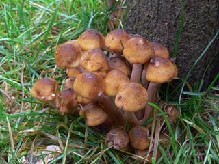 famigliola - chiodino (Armillaria mellea)