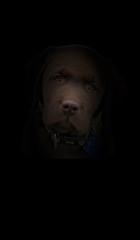 brown labrador in the dark
